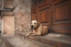 Hundavel amerikanska Staffordshire Terrier Fotografering för Bildbyråer