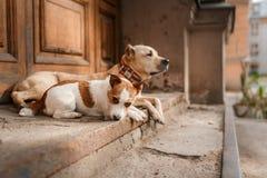 Hundavel amerikanska Staffordshire Terrier och Jack Russell Terrier Fotografering för Bildbyråer