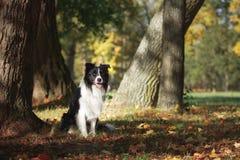 Hundavel Border collie arkivbild