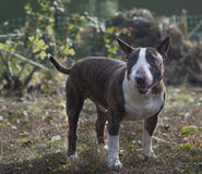 Hundavel bull terrier Arkivfoto