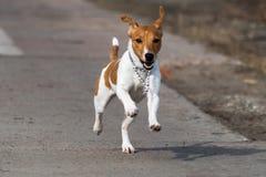 Hundavel Jack Russell Royaltyfria Bilder