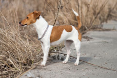 Hundavel Jack Russell Arkivfoto