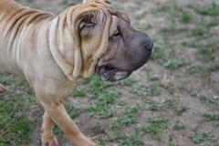 Hundavel Shar Pei Royaltyfri Foto