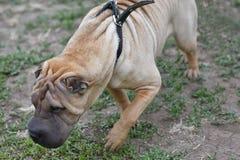 Hundavel Shar Pei Arkivfoton