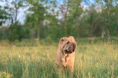 Hundavel SharPei som sitter i ett fält close upp fotografering för bildbyråer