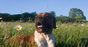 Hundavelboxare arkivfoto