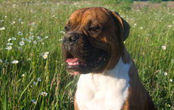 Hundavelboxare royaltyfri foto