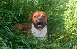 Hundavelboxare royaltyfri bild