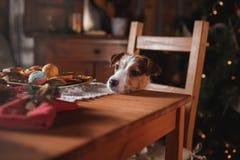 HundavelJack Russell Terrier ferie, jul royaltyfria bilder