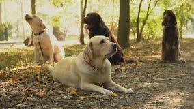 Hundavellabrador guld- färg stock video