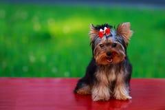 HundavelminiatyrYorkshire terrier royaltyfri foto