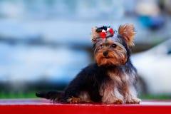 HundavelminiatyrYorkshire terrier royaltyfri fotografi