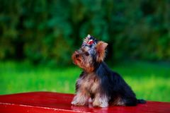 HundavelminiatyrYorkshire terrier arkivbilder