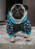 Hundavelmops i omslag älskvärd hund royaltyfria foton