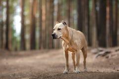 Hundaveln amerikanska Staffordshire Terrier som går i höst, parkerar Royaltyfri Foto