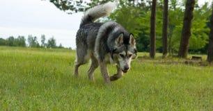 hundaveln en malamute, går på ett mejat gräs, gulingfärg, sommarperioden, ett grönt gräs en bakgrund, royaltyfri fotografi