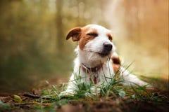 Hundaveln Jack Russell Terrier går på naturen royaltyfri fotografi