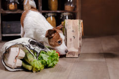 Hundaveln Jack Russell Terrier och foods är på golvet i köket Royaltyfri Foto