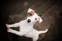 Hundaveln Jack Russell Terrier står på en mörk bakgrund arkivbild