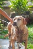 Hundbadning i den varma dagen Arkivfoton