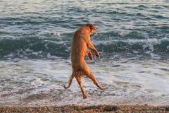 Hundbanhoppning i vågor på stranden Royaltyfri Foto
