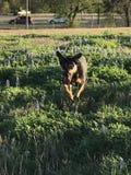Hundbanhoppning till och med ett fält av blåa hättor arkivbilder