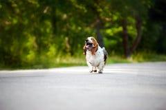 hundBassethund som kör på vägen Royaltyfria Bilder