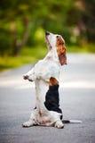 Hundbassethund som sitter på hans hind ben Royaltyfria Bilder