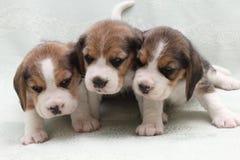 Hundbeagle Royaltyfria Bilder
