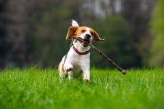 Hundbeagle som kör och hoppar med pinnen till och med fält för grönt gräs i en vår royaltyfria bilder