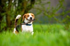 Hundbeagle som kör och hoppar med pinnen till och med fält för grönt gräs i en vår royaltyfria foton
