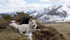 hundberg pyrenean Arkivfoto