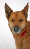 hundblinkning Arkivfoto