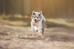 Hundborder collie körningar royaltyfri foto