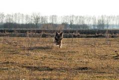 Hundbyrackakörningar in mot fältet, Royaltyfri Fotografi