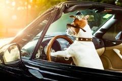 Hundchaufförlicens som kör en bil royaltyfri bild