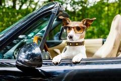 Hundchaufförlicens som kör en bil royaltyfria foton
