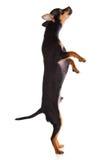 Hundchihuahua som isoleras på vit bakgrund Arkivbilder
