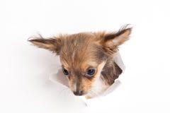 Hundchihuahua som isoleras på vit bakgrund Fotografering för Bildbyråer