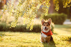 HundCorgi under trädet Royaltyfri Foto