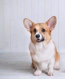 HundCorgipembroke på det vita bakgrundsleendet Royaltyfri Foto