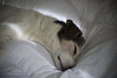 Hunddrömmar Arkivbild