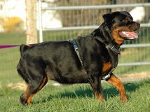 Hunde 141 Lizenzfreie Stockfotos