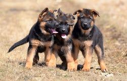 Hunde 00011 Stockbild