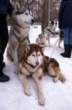 Hunde Lizenzfreies Stockbild