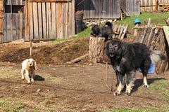 Hunde auf dem Bauernhof Stockbild