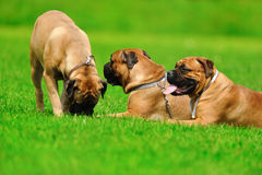 Hunde auf dem grünen Gras Lizenzfreie Stockfotos