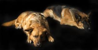 Hunde auf dem schwarzen Hintergrund Stockfotos