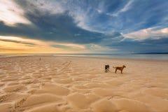 Hunde auf dem Strand bei Sonnenuntergang Stockbilder