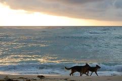 Hunde auf dem Strand am Sonnenaufgang stockbilder